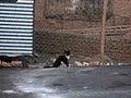 Balck white cat - Daraei ave - Nishapur 7.JPG
