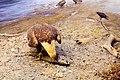 Bald Eagle Eats Salmon (40902720).jpeg