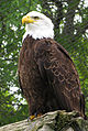 Bald Eagle Magnetic Hill Zoo.jpg