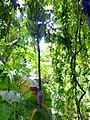 Banana flower in Jardins de Majorelle.jpg