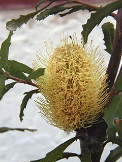 A shrub in the family Proteaceae found in subalpine areas of the Great Dividing Range in southeastern Australia.