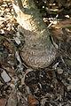 Banksia mediagraft1.JPG