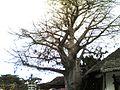 Baobab Dar.jpg