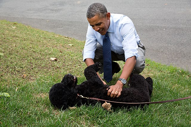 Barack Obama plays with Sunny, the new Obama family pet, 2013, From WikimediaPhotos