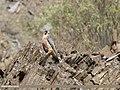 Barbary Falcon (Falco pelegrinoides) (31813056498).jpg