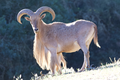 Barbary Sheep.png