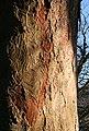 Bark Marks - geograph.org.uk - 686075.jpg