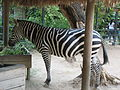 Barranquilla Zoológico Zebra.jpg