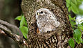 Barred-owl-chick-31.jpg