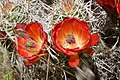 Barrel Cactus Flowers (3684305293).jpg