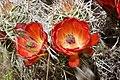 Barrel Cactus Flowers (3684305293).jpg