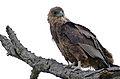 Bateleur (Terathopius ecaudatus) juvenile (16435717098).jpg