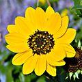 Beach Sunflower (5561869554).jpg