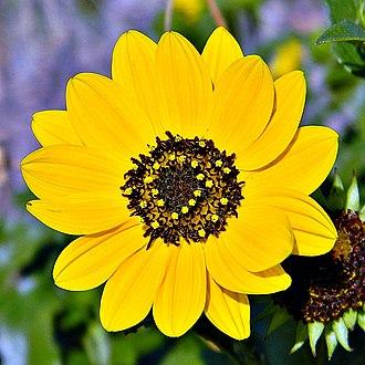 Juno Beach, Florida - Image: Beach Sunflower (5561869554)