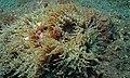 Beaded Sea Anemone (Heteractis aurora) (8456560914).jpg