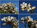 Beaumontia grandiflora (4919869042).jpg