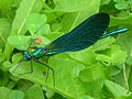 Beautiful Demoiselle2.jpg