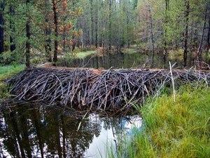 Deer Creek (Tehama County, California) - Beaver dam on Gurnsey Creek, just below Childs Meadows, Tehama County, Caifornia. Credit Brock Dolman, OAEC
