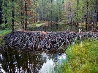 Deer Creek (Tehama County, California) - Beaver dam on Gurnsey Creek, just below Childs Meadows, Tehama County, California. Credit Brock Dolman, OAEC