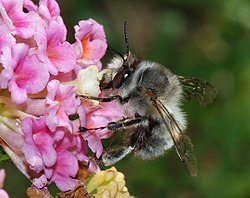 Um Anthophora plumipes macho
