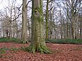 Beech woodland beside Blickling Road - geograph.org.uk - 1088267.jpg