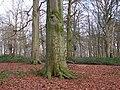 Beech woodland beside Blickling Road - geograph.org.uk - 1088267.jpg