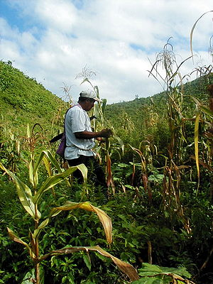 Belize farming gm.jpg