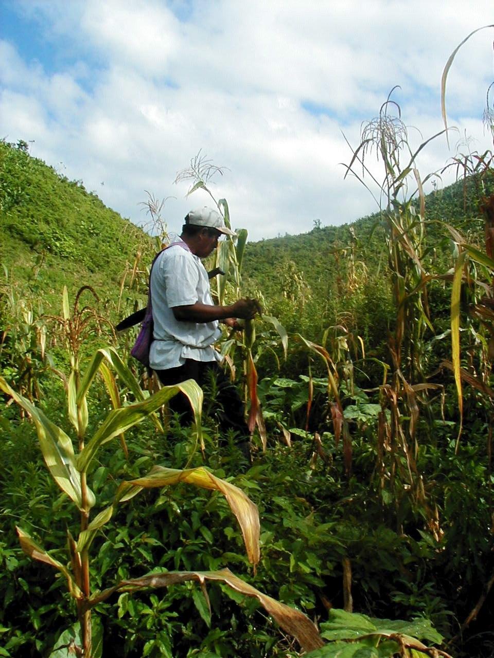 Belize farming gm