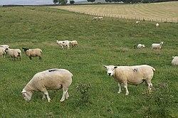 Beltex Sheep near Whygill - geograph.org.uk - 209731
