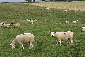 Beltex - Beltex Sheep near Great Asby
