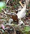 Bengal monitor (Varanus bengalensis) or common Indian monitor - ഉടുമ്പ്. (31735812355).jpg