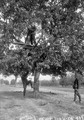 Beobachtungsposten auf dem Baum - CH-BAR - 3237424.tif
