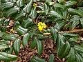 Berberis aquifolium 116304429.jpg