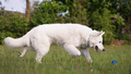 Berger Blanc Suisse8.png