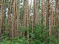 Berkovets forest5.jpg