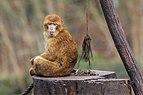 Berlin Tierpark Friedrichsfelde 12-2015 img07 Barbary macaque.jpg