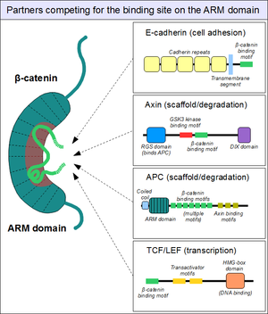 Beta-catenin - Partners competing for the main binding site on the ARM domain of beta-catenin. The auxiliary binding site is not shown.