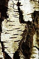 Betula (KK).jpg