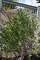 Betula nigra Little King 5zz.jpg