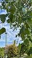 Betula pendula Zumaiako insitutuan.jpg