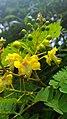 Biancaea sappan flower buds leaves.jpg