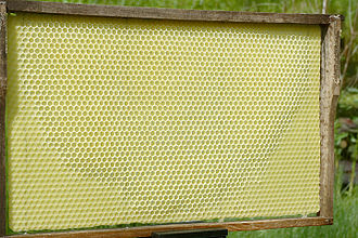 "Honeycomb - ""Artificial honeycomb"" foundation plate where bees have already completed some cells."
