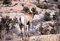 Bighorn Sheep (6549994123).jpg