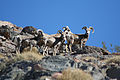 Bighorn Sheep at Point of Rocks 11-13-10 (5489683563).jpg