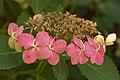 Bigleaf Hydrangea Hydrangea macrophylla 'Tokyo Delight' Pink Edit 3008px.jpg