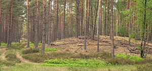 Inland dune - Inland dunes beneath pine forest in the Urstromtal of the Aller near Winsen (Aller)