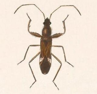<i>Pseudopamera</i> Genus of true bugs