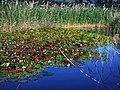 Biotope Lake of Gargazzone - Photo by Giovanni Ussi - Lake and surrounding vegetation (51) 05.jpg