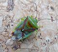 Birch shieldbug (Elasmostethus interstinctus). Acanthosomatidae - Flickr - gailhampshire.jpg
