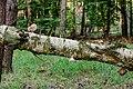 Birkenporling - birch polypore - birch bracket - razor strop - Piptoporus betulinus - 01.jpg